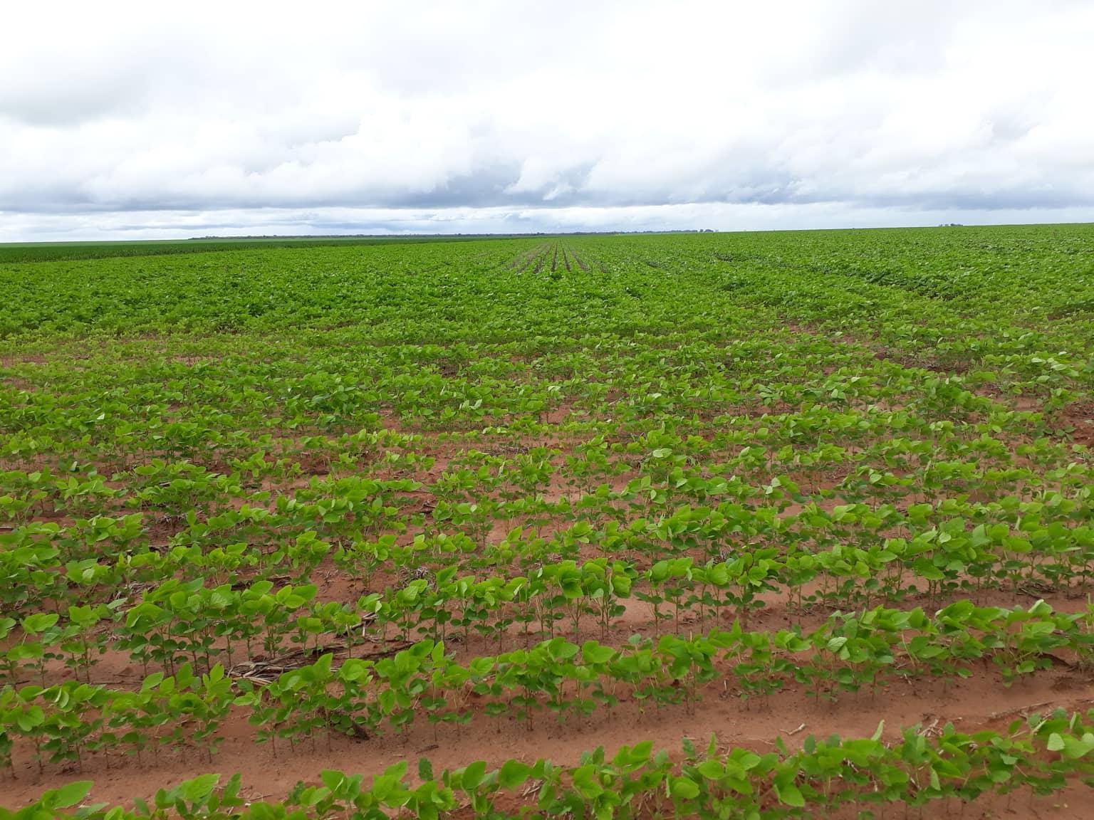 campos-de-soja--Soja-velden--2