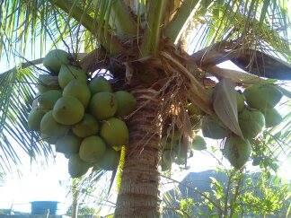 kokosnotenboom---coqueiro