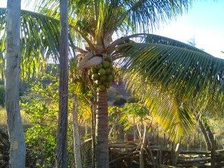 kokosnotenboom-coqueiro-