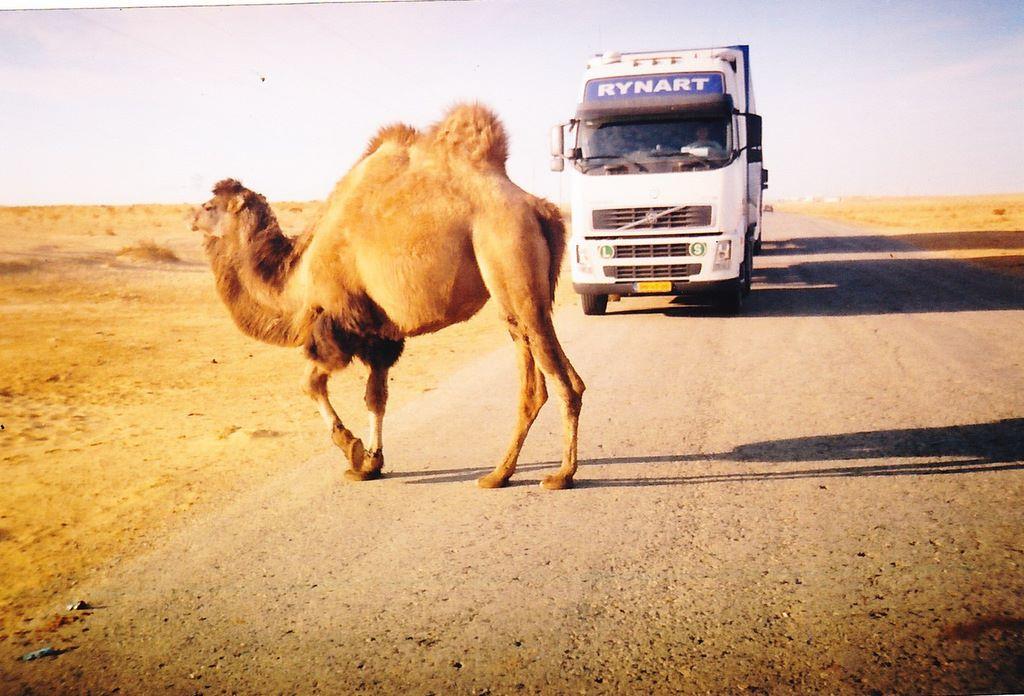 Camels-crossing-the-roads-in-Kazachstan--drive-carefull-8-2-2018