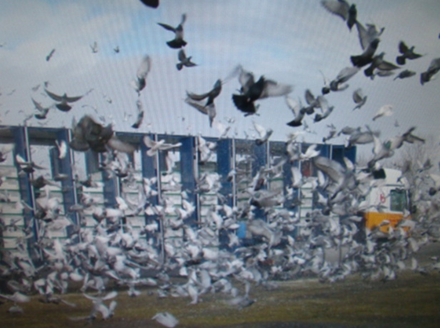 duivenlossen