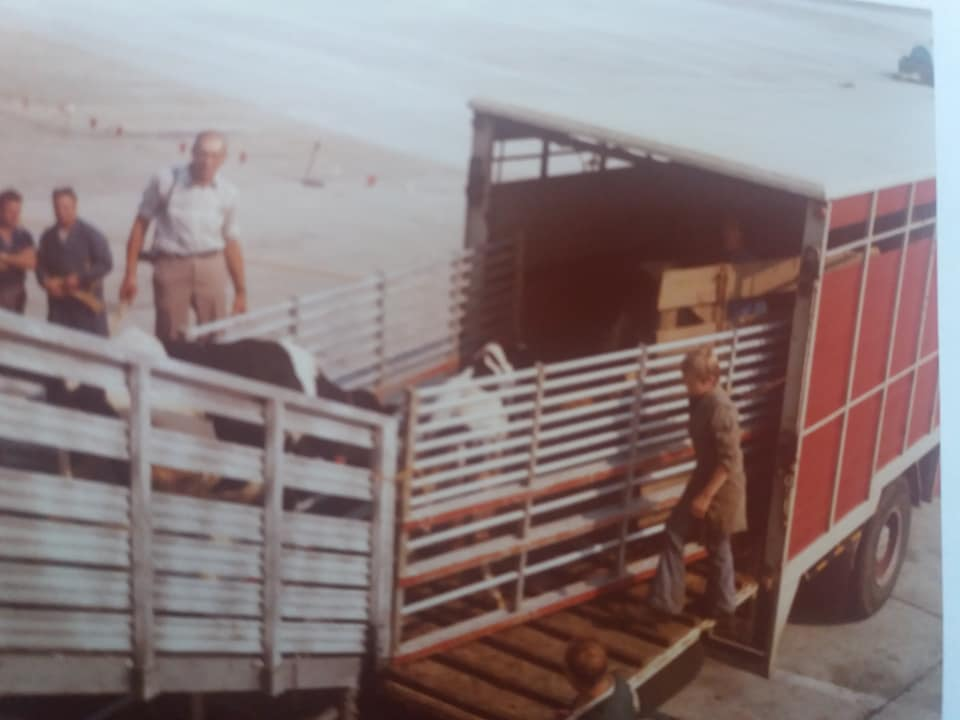 Import-van-de-eerste-Frisian-Holstein-vaarzen-vanuit-Canada-per-vliegtuig-naar-Brussels-Airport-Geimporteerd-door-de-fa-Nijdam-en-de-Groot-uit-Tirns-en-gedistribueerd-naar-boeren-in-Nederland-1975-(5)