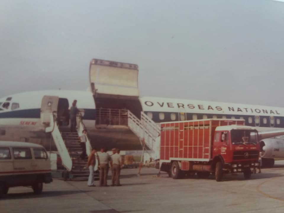Import-van-de-eerste-Frisian-Holstein-vaarzen-vanuit-Canada-per-vliegtuig-naar-Brussels-Airport-Geimporteerd-door-de-fa-Nijdam-en-de-Groot-uit-Tirns-en-gedistribueerd-naar-boeren-in-Nederland-1975--(1)