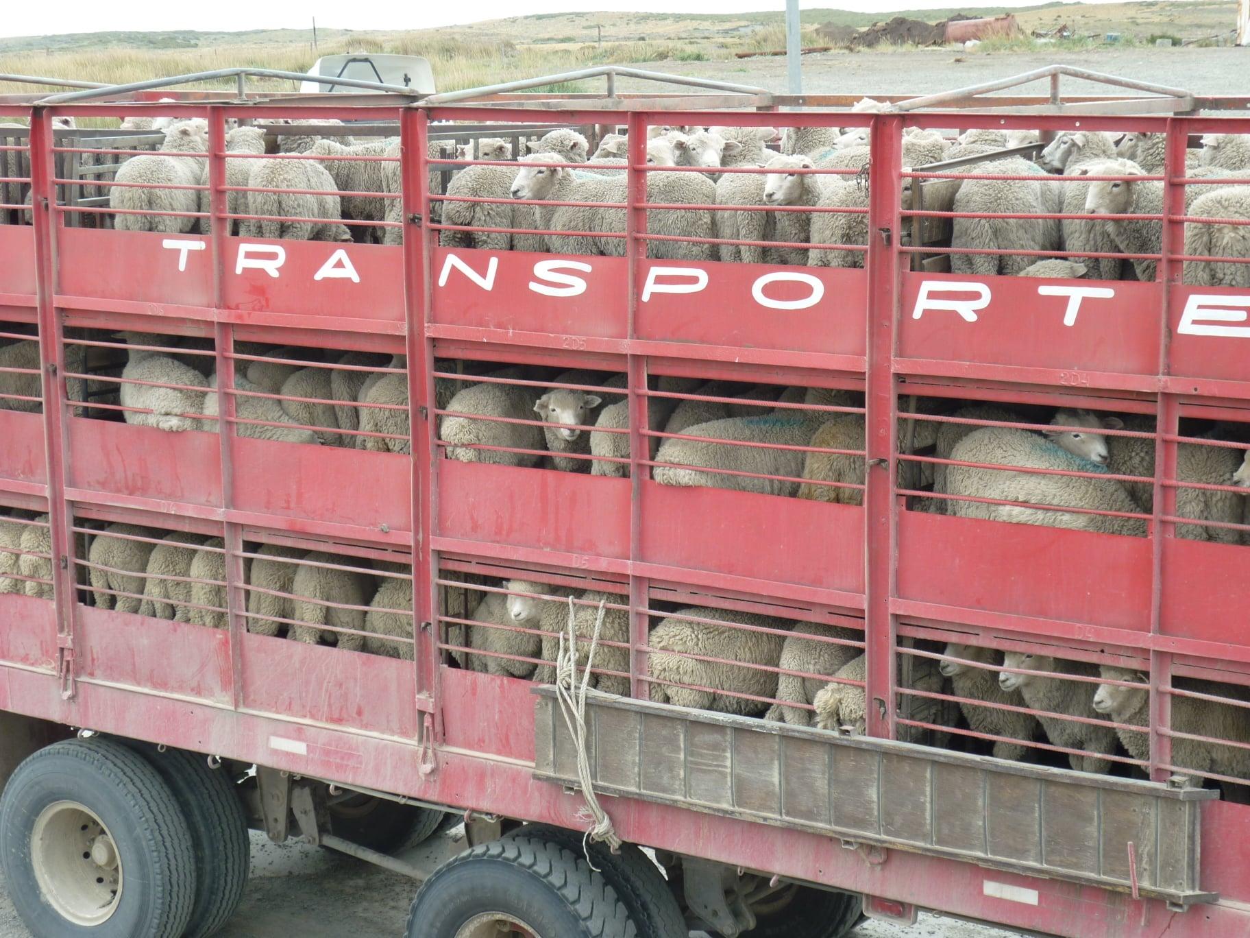 15-1-2021-Patagonie-Argentina-land-met-veel-schapen-Ferry-de-Straat-van-Magellan--Daniel-Caron-Photo-(4)
