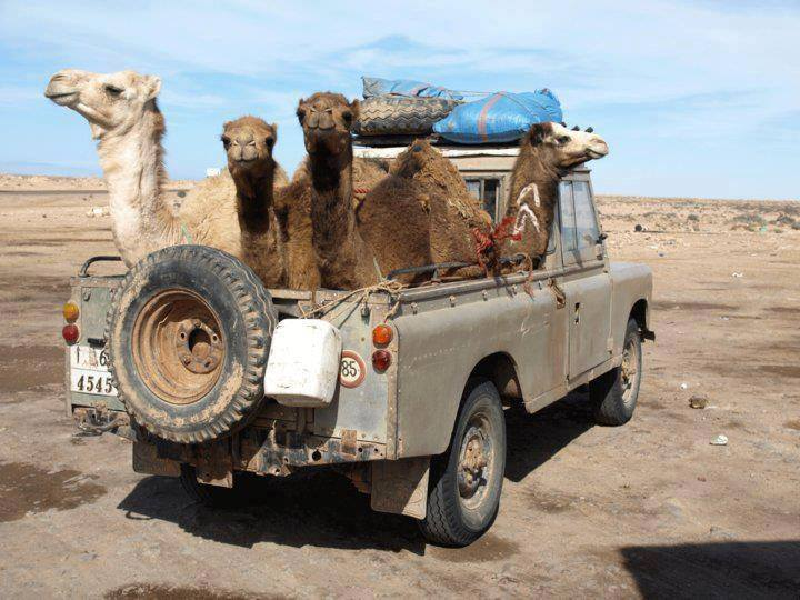 kamelen-vervoer