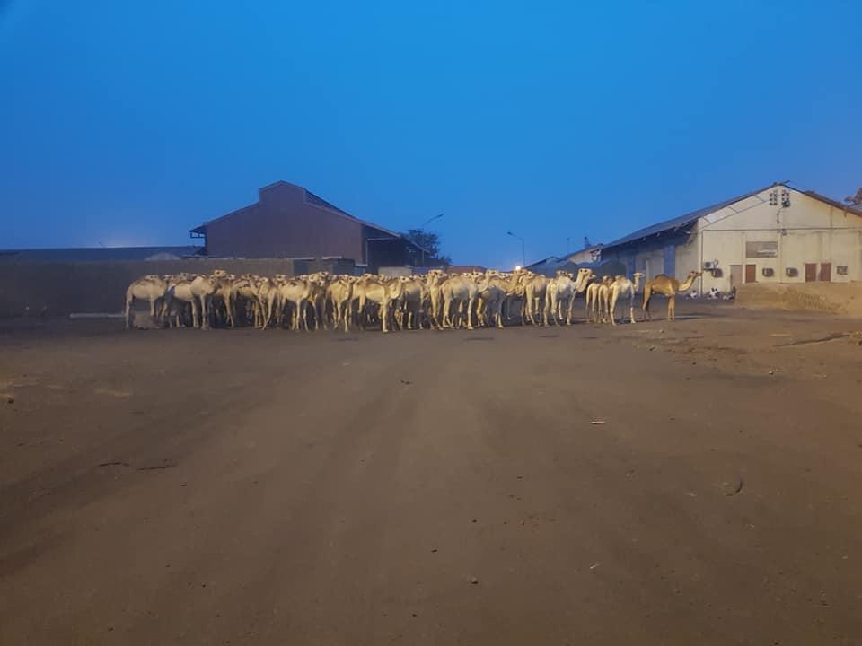 Camel-transport-in-Ethiopia-1