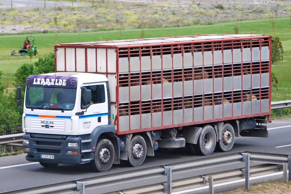 Ganaderos-Varkens-Camions--7