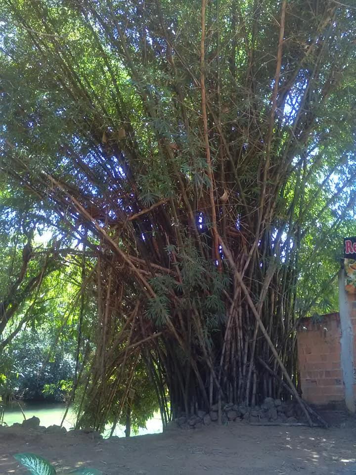 5-6-2019-Bamboe