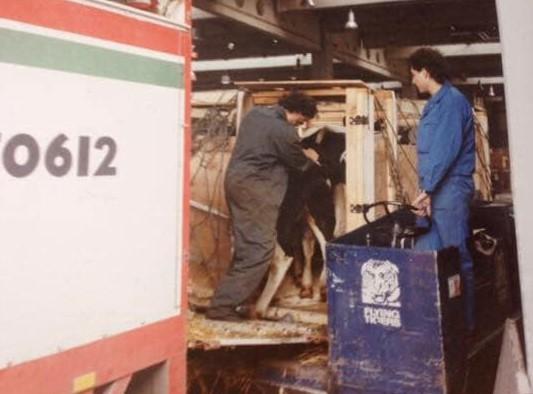 Wetering-Vee-transport--Michel-van-Asch-foto-jaren-80-met-rooie-kes-Marcel--en-Rino-samen-9